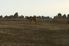 Donkey at chimneys of Lac Abbé